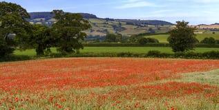 Devon Poppies stockfoto