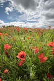 Poppy field in Crediton, Devon. A field of Poppies growning on the outskirts of Crediton in Devon stock image