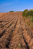 Devon Potato crop farming. Cultivated sloping field of potato plants ready to harvest Stock Images