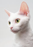 Devon Rex. Cat on a white background stock images