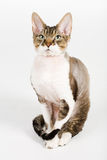 Devon rex. A photo ofpurebred cat - devon-rex, isolated royalty free stock photo
