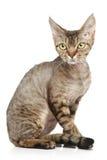 Devon Rex auf einem weißen Hintergrund Lizenzfreie Stockbilder