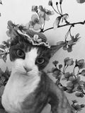 Devon rex cat in fun hat. Portrait of a funny devonrex, closeup floral background. Kitten sakura flowers stock photo