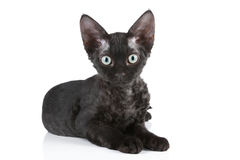 Devon-Rex breed black cat royalty free stock images