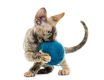 Devon rex carring a wool ball isolated on white Royalty Free Stock Photography