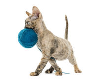 Devon rex carring a wool ball isolated on white Stock Photos
