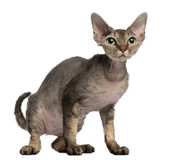 Devon Rex cat, 2 years old, sitting. In front of white background Stock Photos