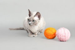 Devon Rex cat Royalty Free Stock Photos