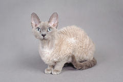 Devon Rex cat. Portrait in grey royalty free stock photo