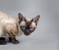 Devon Rex cat Stock Image