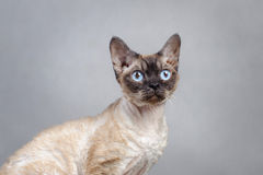 Devon Rex cat. Portrait in grey royalty free stock photography