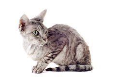 Devon rex cat Stock Photos