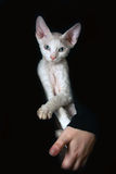 Devon Rex cat Stock Photography