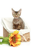 Devon Rex cat in basket Stock Images