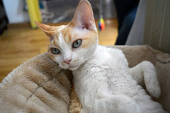 Devon Rex cat. A beautifull Devon Rex cat looking playfully Stock Images
