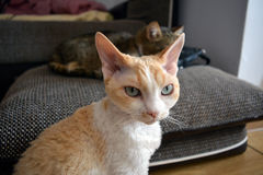 Devon Rex cat. A beautifull Devon Rex cat looking playfully Stock Photos