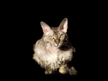 Devon rex cat on black backgound Stock Photo