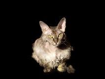 Devon rex cat on black backgound. See my other works in portfolio Stock Photo