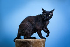 Devon rex cat. Cat devon rex on blue background, standing on a cat stand Royalty Free Stock Images