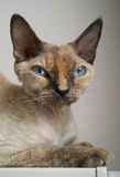 Devon rex. Stock Photos