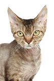 Devon Rex cat. Close-up portrait Royalty Free Stock Photos