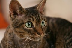Devon Rex Cat face. Close up of a devon rex cat brown tabby with green eyes Stock Images