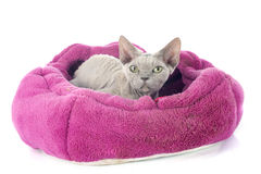 Devon rex Stock Photo