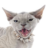 Devon rex Stock Images