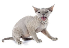 Devon rex. Cat in front of white background royalty free stock photos