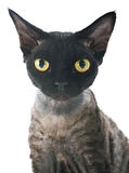 Devon rex. Cat in front of white background royalty free stock photo