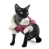 Devon rex Stock Image