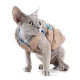 Devon rex Stock Photos