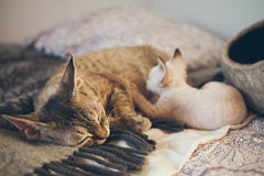 Devon Rex cat and kitten. Love and tenderness. Kitten is eating milk. Mom loves kitty cat and nurse it. Care, Feeding of Queens and Kittens. Normal development Stock Image