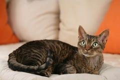Devon Rex Cat. Lying on the sofa stock photography