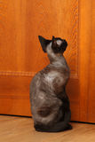 Devon-Rex Cat near the door. Devon-Rex Cat waiting near the door royalty free stock image