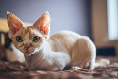 Devon Rex cat. A photograph of a beautiful and lovely Devon Rex cat royalty free stock photo