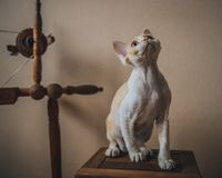 Devon Rex cat royalty free stock images