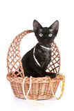 Devon-rex cat portrait in basket with beads Stock Photography
