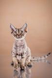 Devon Rex cat Stock Image