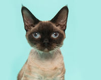Devon rex cat portrait with blue eyes looking straight into the camera on a mint blue background. Pretty seal point devon rex cat portrait with blue eyes looking Royalty Free Stock Images