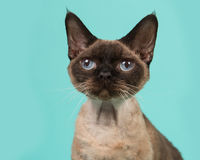 Devon rex cat portrait with blue eyes looking up on a mint blue background. Pretty seal point devon rex cat portrait with blue eyes looking up on a mint blue Stock Photography