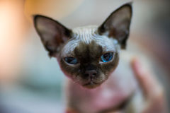 Devon Rex cat. Devon Rex  cat portrait - blurred background Royalty Free Stock Photography
