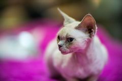 Devon Rex cat. Devon Rex  cat portrait - blurred background Stock Image