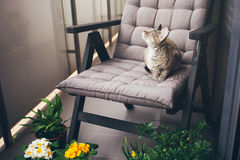 Devon rex cat is sitting on armchair on the balcony. Cat is smelling fresh air. Snoozing. Cat is walking outdoor on a private  terrace Royalty Free Stock Image