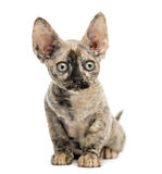 Devon rex cat sitting Stock Photo