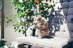Beautiful Devon Rex cat is sitting in the sun on a private terrace. Cat is grooming, licking the paw. Cat feeling pleasure of being outside in the fresh air and Stock Photo