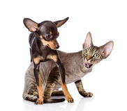 Devon rex cat and toy-terrier puppy playing together Stock Photos