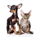 Devon rex cat and toy-terrier puppy sitting togeth Stock Photography