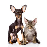Devon rex cat and toy-terrier puppy sitting togeth Royalty Free Stock Photos