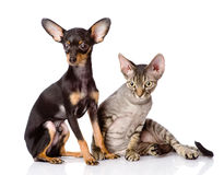 Devon rex cat and toy-terrier puppy together. Royalty Free Stock Photo